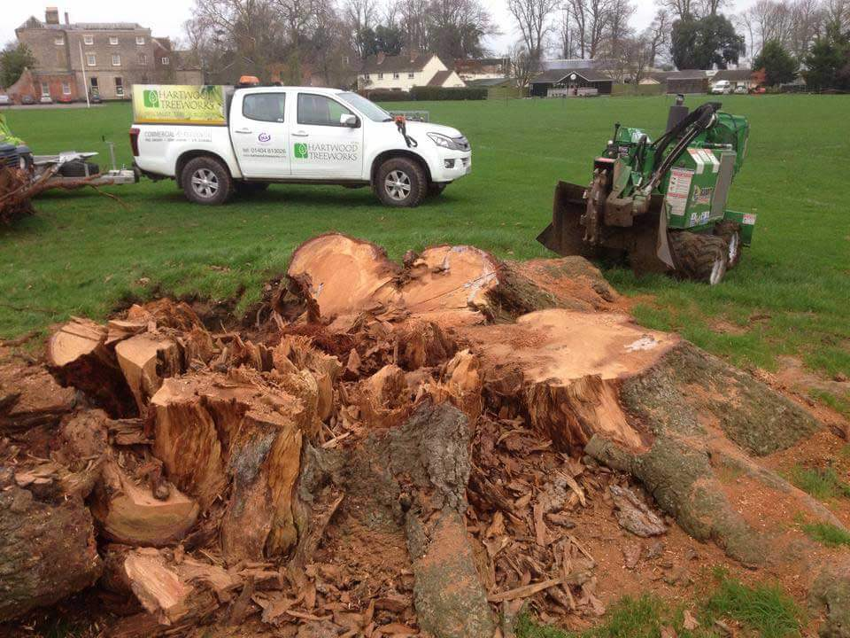 Before removing large stump
